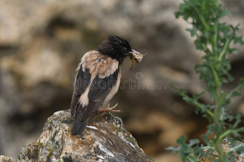 Rosy Starling Sturnus roseus. The Rosy Starling Pastor roseus is a passerine bird in the starling family Sturnidae, also known as the Rose-coloured Starling or royalty free stock image