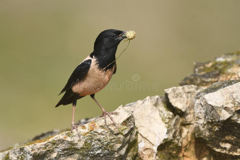 Rosy Starling Sturnus roseus. The Rosy Starling Pastor roseus is a passerine bird in the starling family Sturnidae, also known as the Rose-coloured Starling or stock images