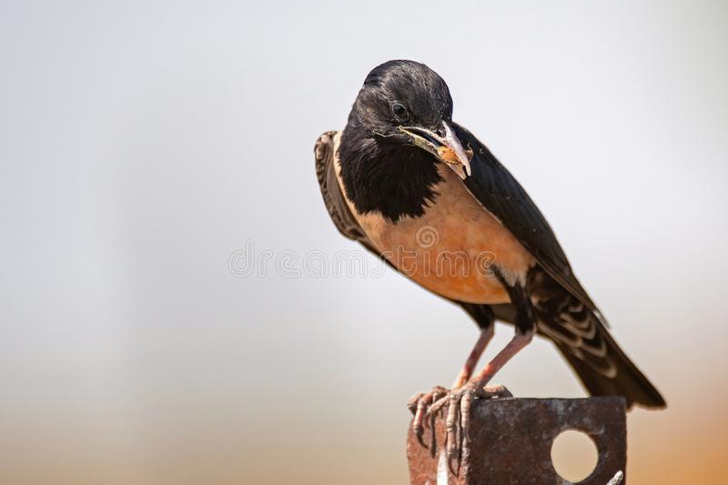 Rosy Starling Sturnus roseus sits on a rusty iron corner with a bug in its beak stock photos