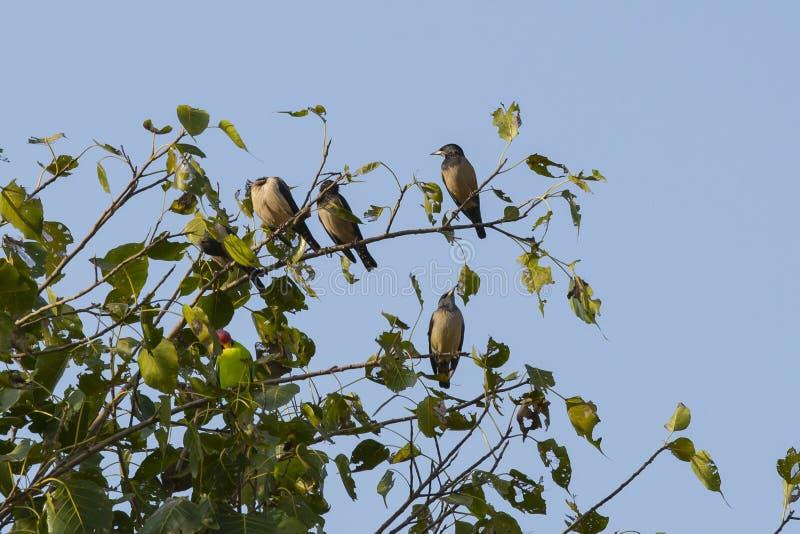 Rosy Starlings étant perché images libres de droits