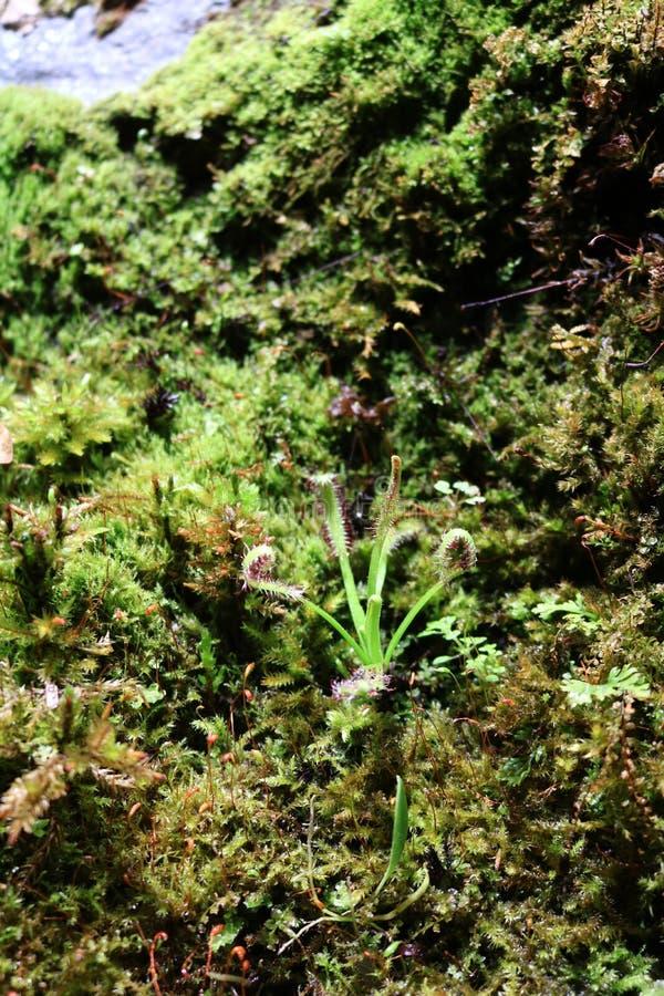 Rosyanka Drosera mięsożerne rośliny zdjęcie royalty free