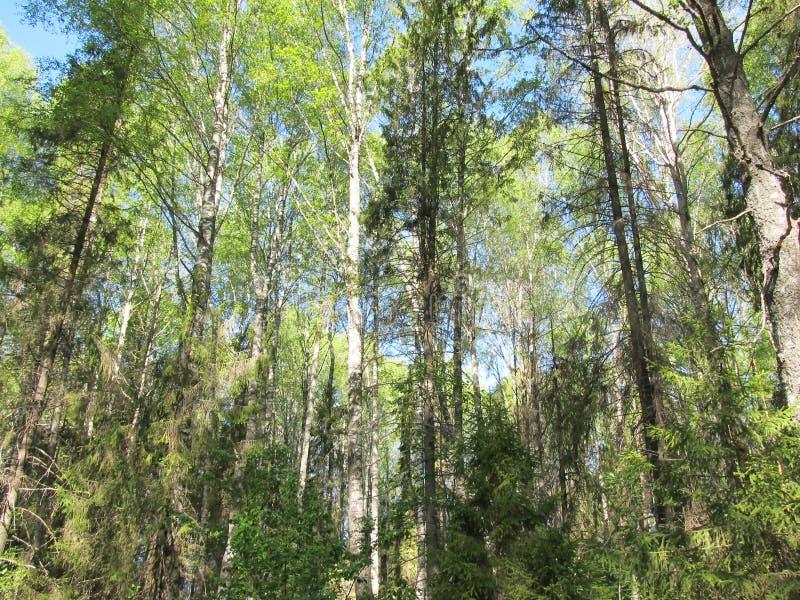 Rosyjscy lasowi udziały drzewa Naturalny tło dla zdjęcie royalty free