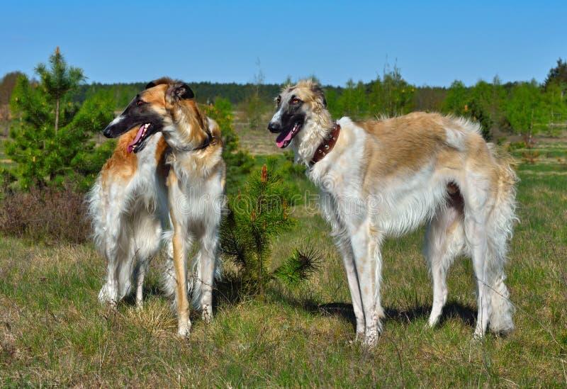 Rosyjscy wolfhounds psy fotografia stock