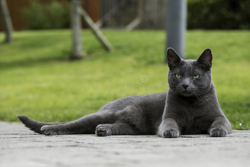 Rosyjski błękitny kot cieszy się naturę fotografia stock