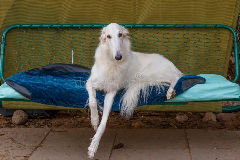Rosyjski Borzoi biel kłamstwa na uprawia ogródek huśtawkę - łowiecki pies - zdjęcia royalty free