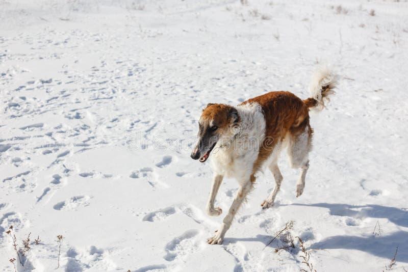 Rosyjski Borzoi pies biega przez śnieżnego pola w zimie zdjęcie stock