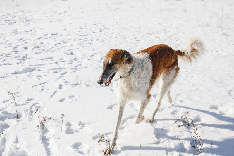 Rosyjski Borzoi pies biega przez śnieżnego pola w zimie zdjęcia royalty free