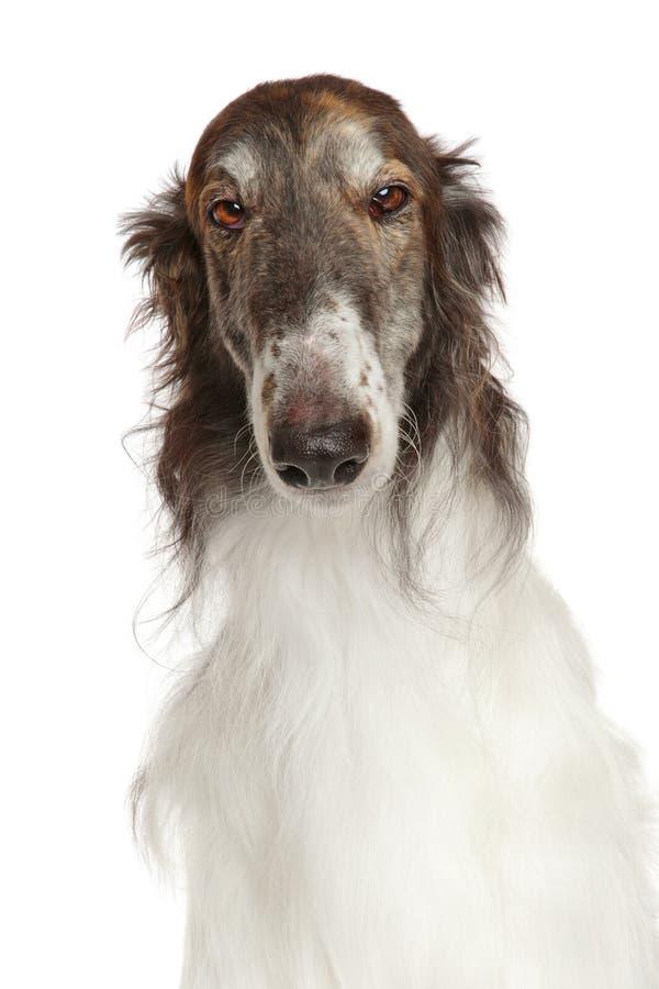 Rosyjski borzoi pies odizolowywający na bielu zdjęcie stock
