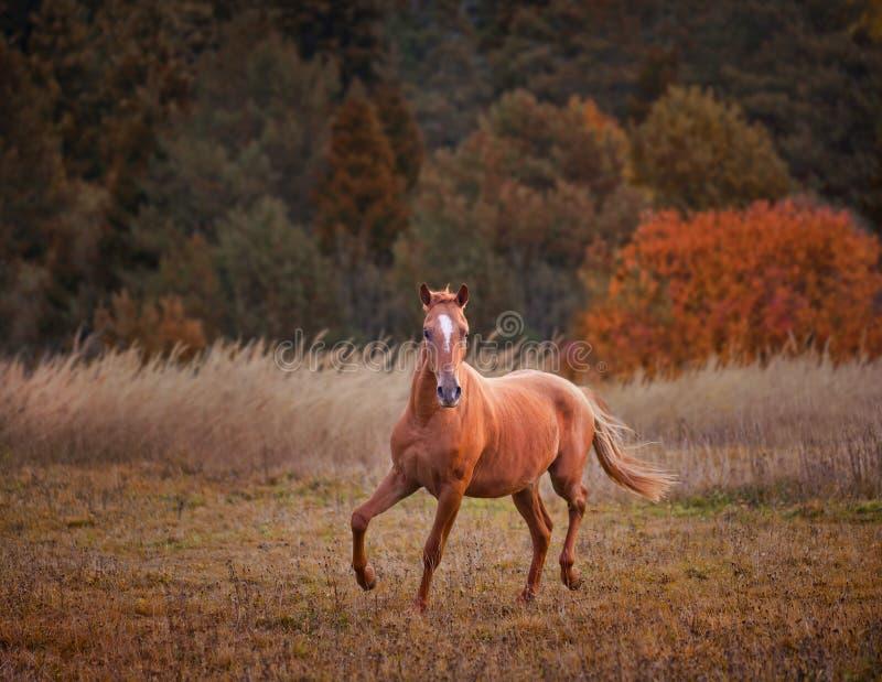 Rosyjski Don koń zdjęcie stock