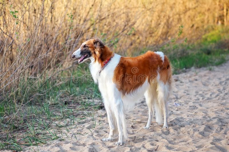 Rosyjski Wolfhound pies, Borzoi na piasku, Sighthound, Russkaya zdjęcia stock