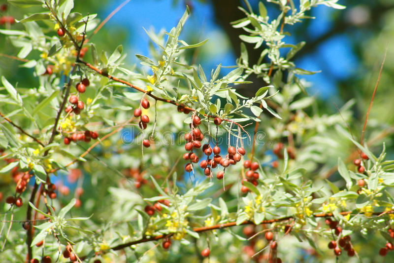 Rosyjskiej oliwki jagody zdjęcia stock