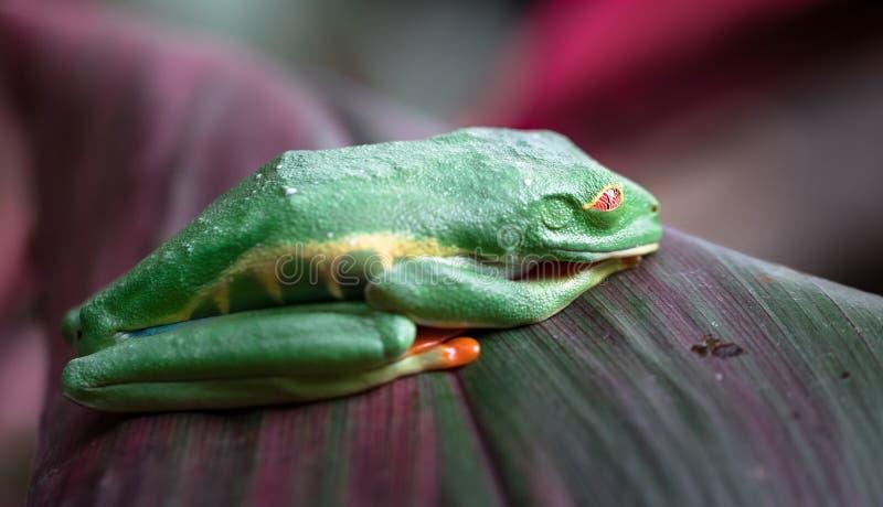 Rotäugige Baumfrosch Agalychnis-callidryas schlafend stockbilder