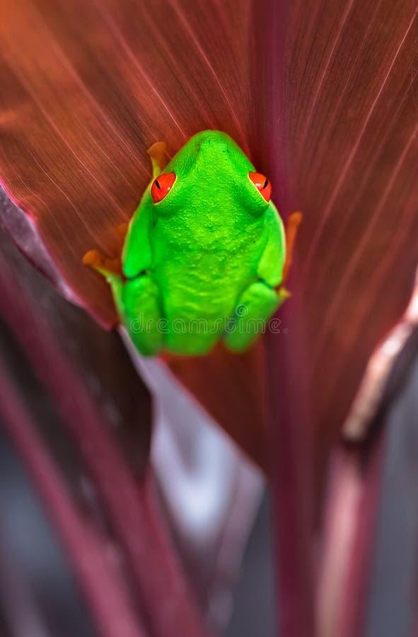 Rot-äugige Baumfrosch Agalychnis callidryas stockbild
