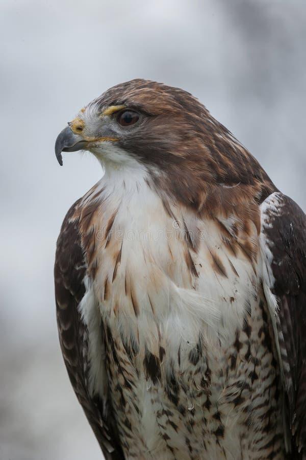 rot-angebundener Falke lizenzfreies stockfoto