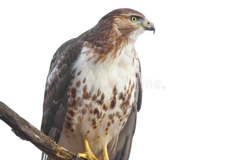 Rot-angebundener Falke getrennt stockfoto