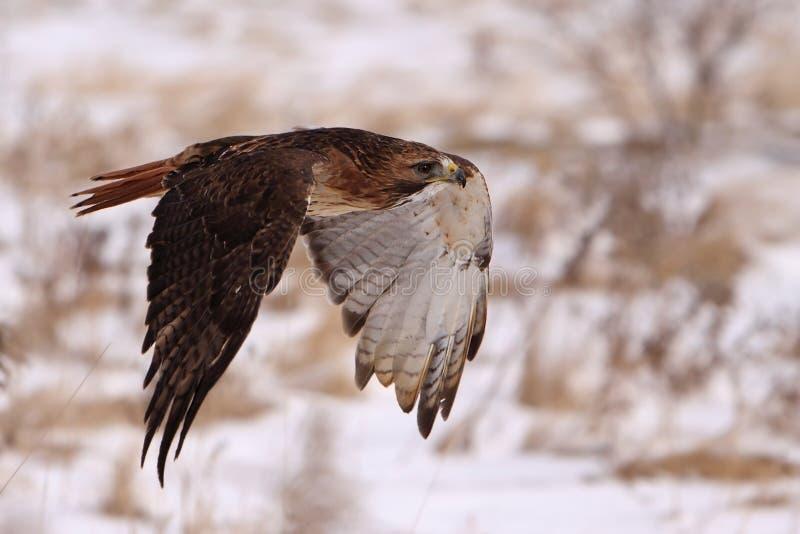 Rot-Angebundener Falke im Flug stockbilder