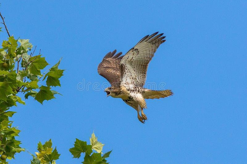 Rot-angebundener Falke im Flug lizenzfreie stockfotografie