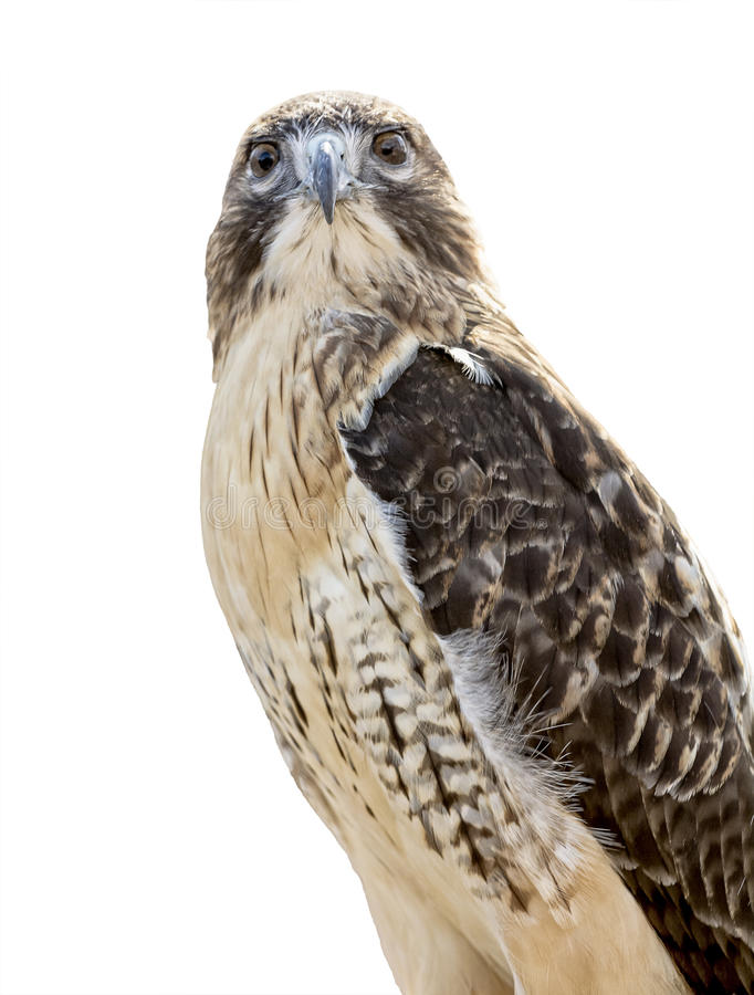 Rot-angebundener Falke trennte lizenzfreies stockfoto