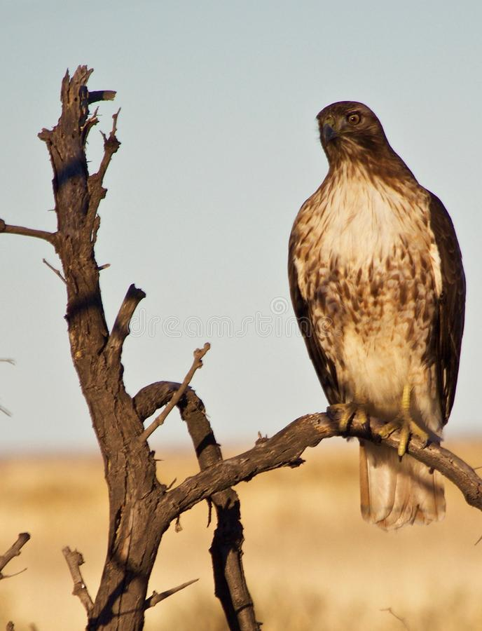 Rot angebundener Hawk Perched stockbilder