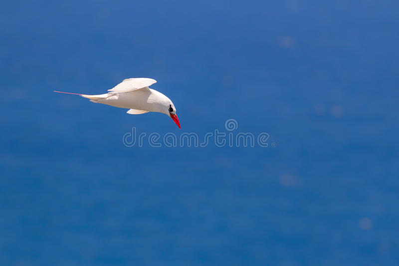 Rot-angebundenes Tropicbird-Phaethon rubricauda stockfotografie