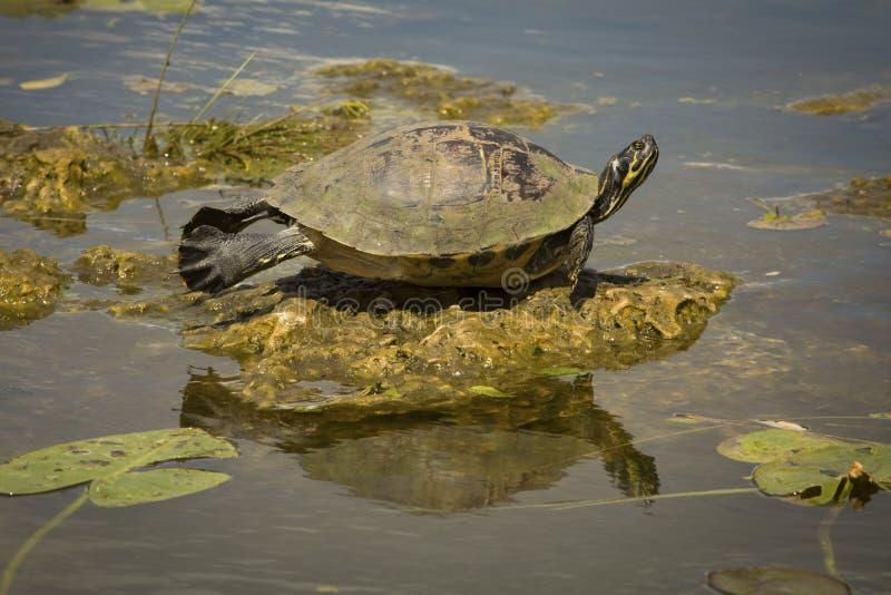 Rot-aufgeblähte Cooterschildkröte in Florida-` s Everglades-Nationalpark stockfotografie