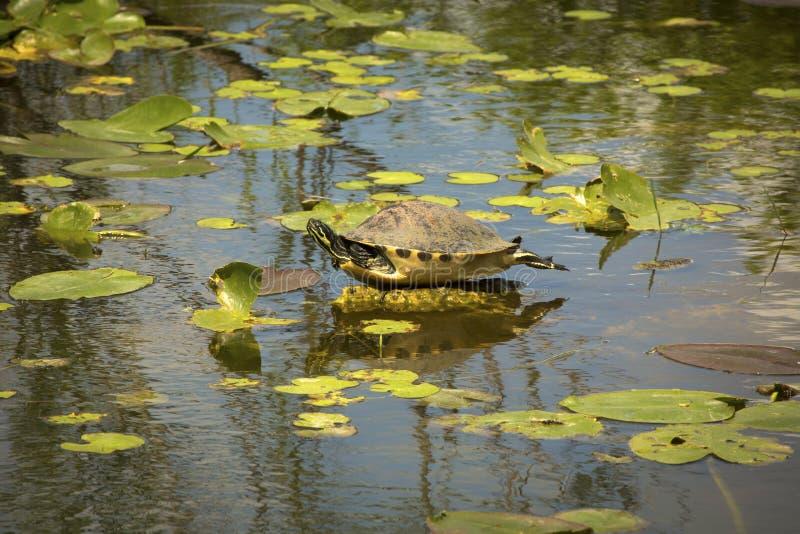 Rot-aufgeblähte Cooterschildkröte in Florida-` s Everglades-Nationalpark lizenzfreies stockfoto
