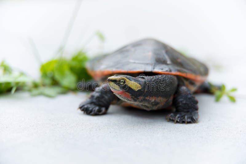 Download Rot-aufgeblähte Kurzhalsige Schildkröte Stockfoto - Bild von fauna, gefährdet: 26365532