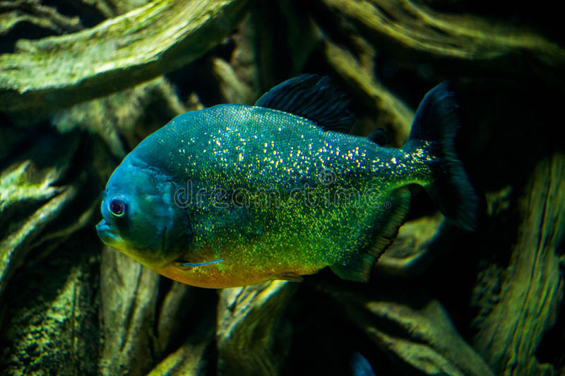 Rot-aufgeblähte Piranha Pygocentrus nattereri lizenzfreie stockfotos