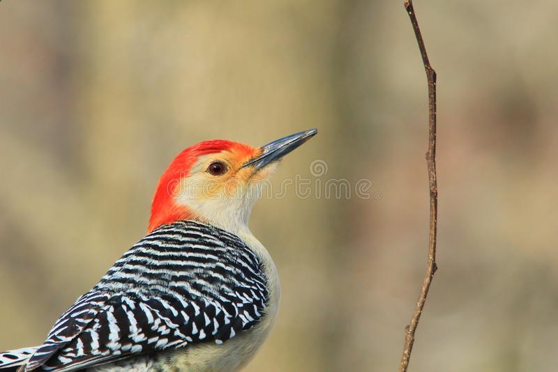 Rot aufgeblähter Specht - Hintergrund der wild lebenden Tiere - Farben in der Natur stockfoto