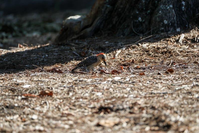 Rot-aufgeblähtes Specht Melanerpes carolinus pickt für Nahrung auf vom Boden lizenzfreie stockfotografie