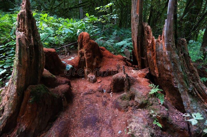 Rot Cedar Tree royalty-vrije stock foto