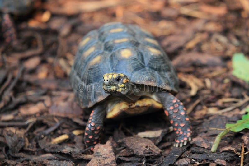 Rot-füßige Schildkröte stockfotografie