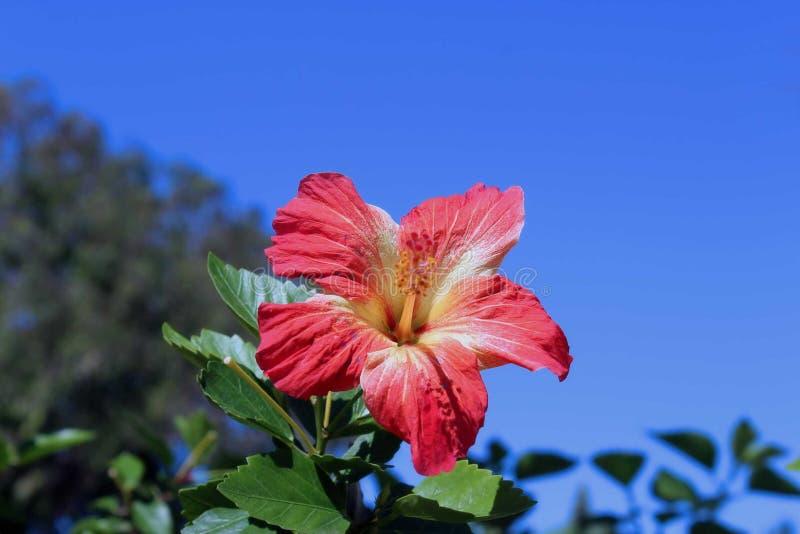 Rot-gelbe Hibiscusblume auf Hintergrund des blauen Himmels stockfotografie