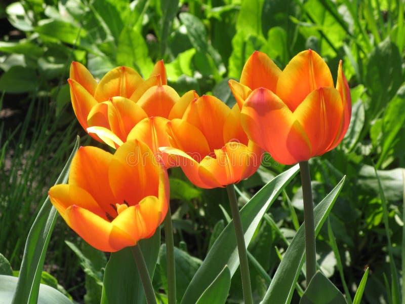 Rot-gelbe Tulpenblumen stockfotografie