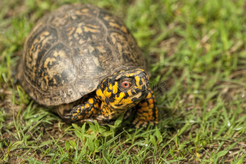 Rot gemusterte männliche Dosenschildkröte - Terrapene Carolina lizenzfreies stockbild