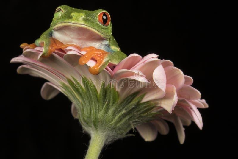 Rot gemusterter Baum-Frosch auf Blume stockbild