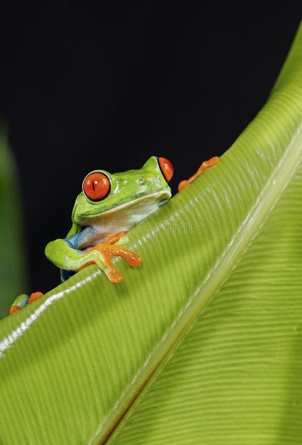 Rot gemusterter Baum-Frosch auf grünem Blatt stockbild