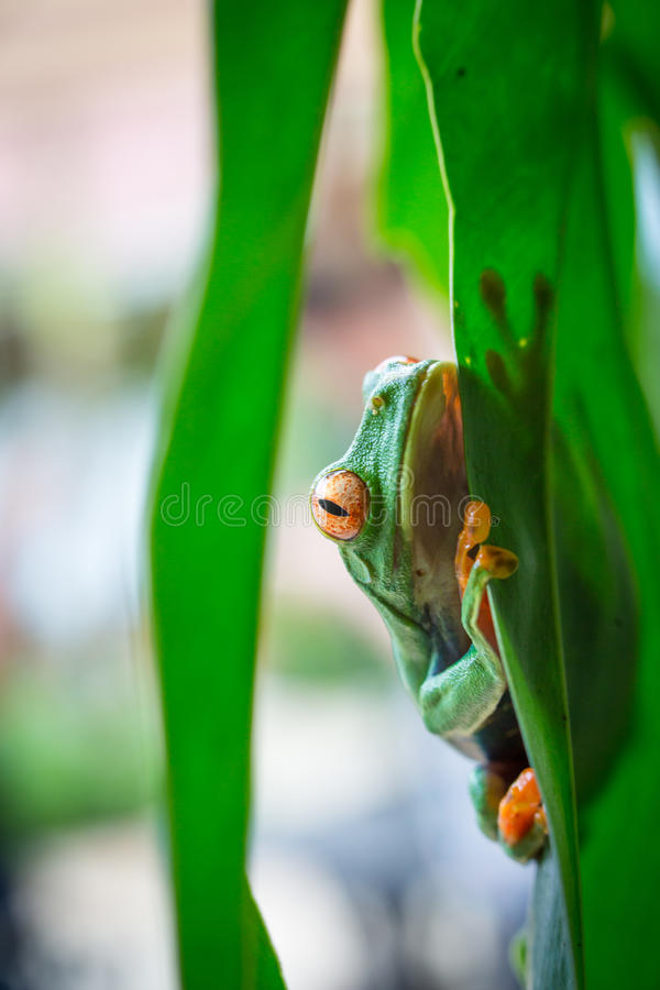 Rot gemusterter Baum-Frosch, Costa Rica lizenzfreies stockfoto