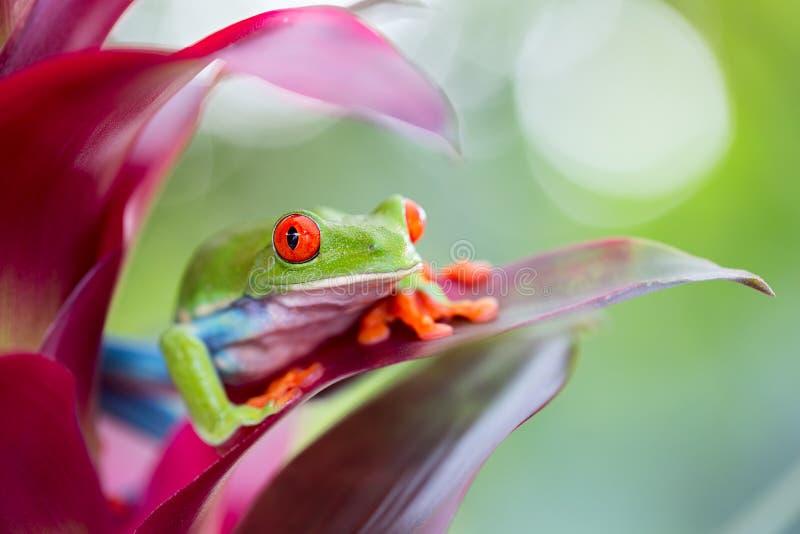 Rot gemusterter Baumfrosch Costa Rica lizenzfreies stockbild