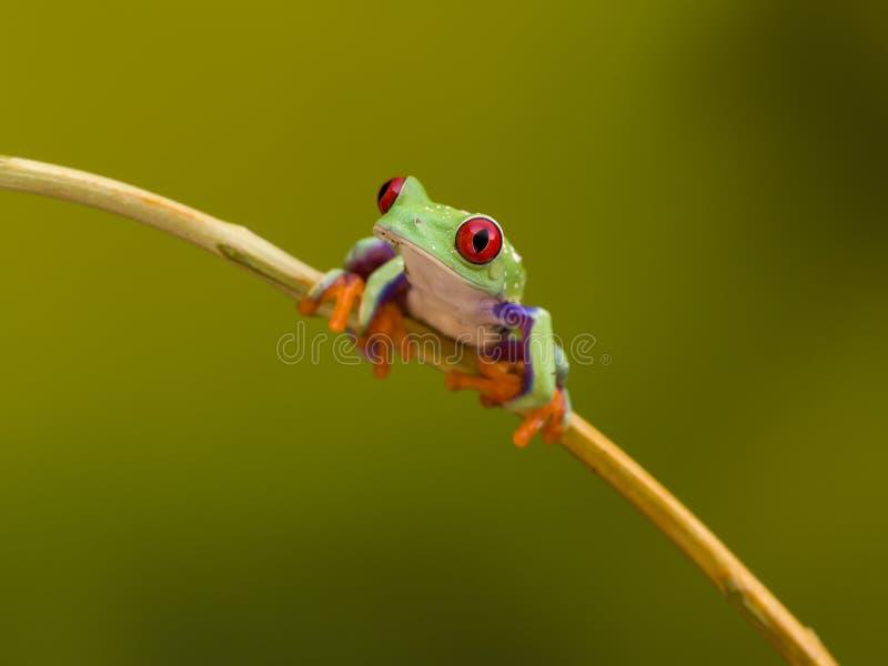 Rot gemusterter grüner Baum-Frosch auf Zweig stockfotografie