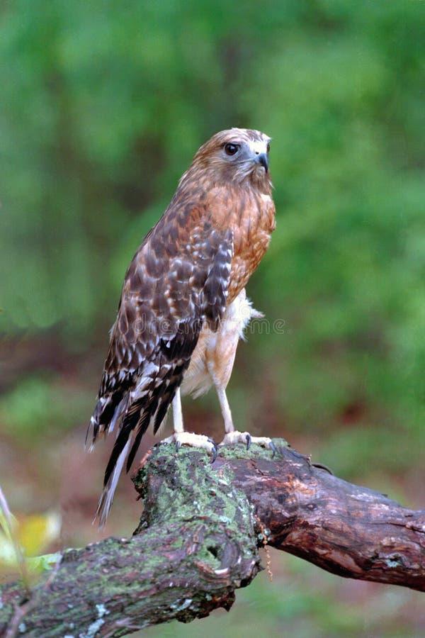 Rot-geschulterter Falke Stockbild