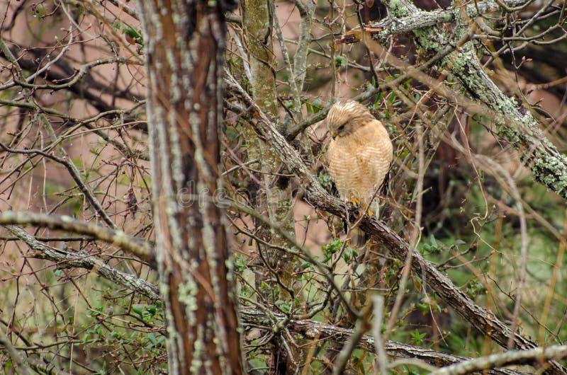 Rot-geschulterter Hawk Hunting lizenzfreies stockbild