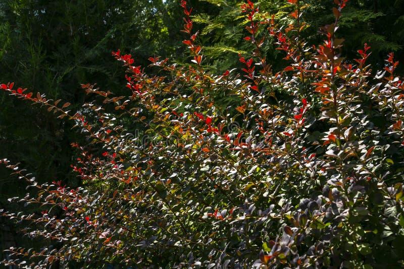 Rot-, Grüne und Purpurroteblätter von Berberitzenbeereberberis thunbergii Atropurpurea, als schönen bunten Herbsthintergrund Sonn stockbild
