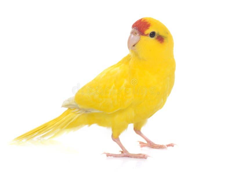 Rot-konfrontierter Kakariki Parakeet stockbilder