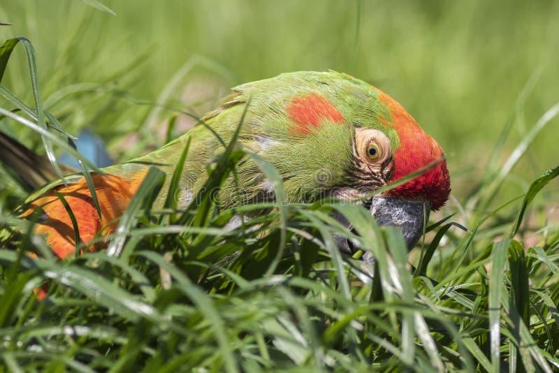 Rot-konfrontierter Macaw stockfotos