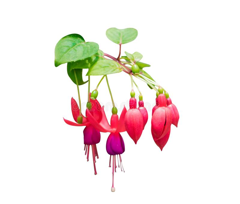 Rot mit purpurroten Glocken von pinkfarbenen Blumen lizenzfreie stockfotografie