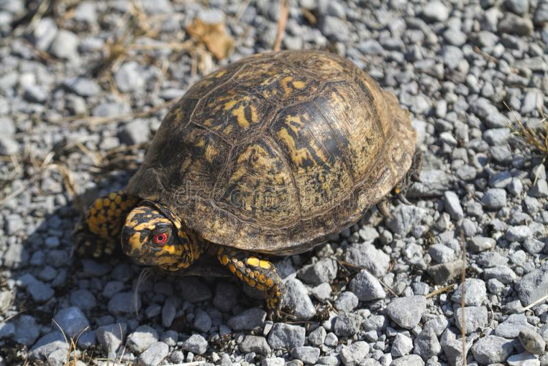 Rot musterte männlichen Ostdosenschildkröte Terrapene Carolina Carolina stockbilder