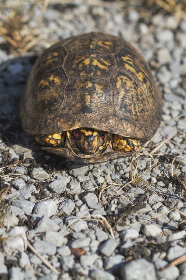 Rot musterte männlichen Ostdosenschildkröte Terrapene Carolina Carolina stockfotos
