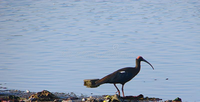 Rot--naped Ibis Randarda See, Rajkot, Gujarat stockbild