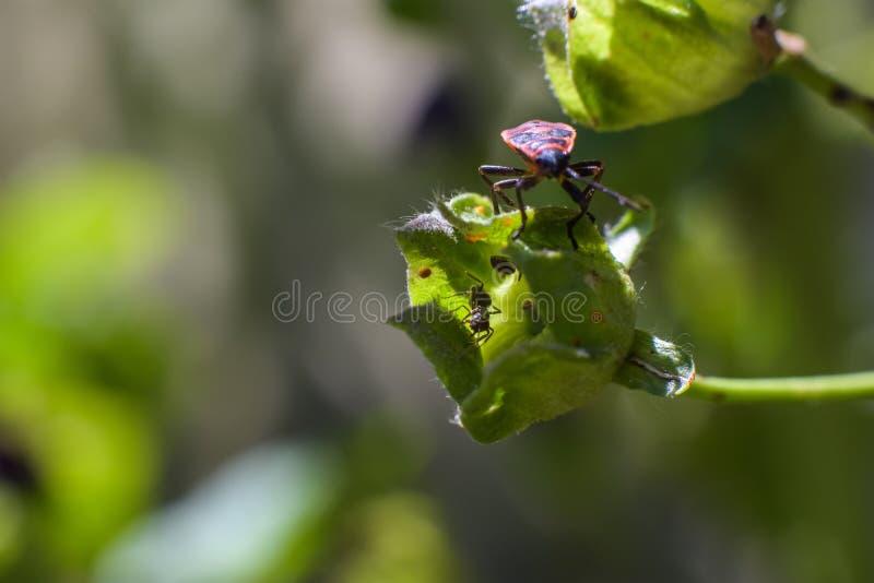 Rot-orange-schwarze kleine Wanze auf eine grüne Blumenknospe mit Ameisen nach innen lizenzfreie stockbilder